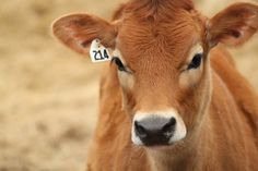 15 Things You Should Know About Jersey Cattle! Jersey Cattle, Jersey Cows, Farm Animals, Cute Animals, Suffolk Sheep, Cow Tattoo, Mercy For Animals, Fluffy Cows, Animal Art Projects