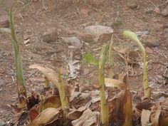 The banana plant by Escritor Emanuel Carvalho the banana plant