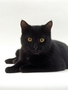 """* * Please consider black cats when you next go to adopt a cat. Black cats are absolutely wonderful but sadly so many get overlooked because they are black. As someone who has had two black cats (recently lost my second) I appeal to you to see the beauty of black cats.   * * """" WHY THANKS ! YOU KNOW IT !"""