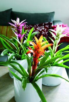 Guzmania- schöne Badpflanze  auch Zimmerpflanze  weiß  orange  sonnengelb  rot  gefärbte Blüten  leider sehr kurzlebig