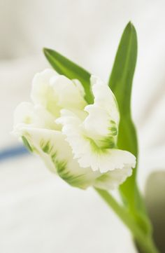 White and green feathery parrot tulips