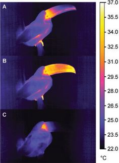 Insights into animal temperature adaptations revealed through #thermal #imaging:  The bill of the Toco toucan acts as a thermal radiator. In these infrared thermal images, relative to the awake state (A), entry into sleep (B) is associated with a transient increase in heat loss from the bill as superficial blood vessels receive increased blood flow.