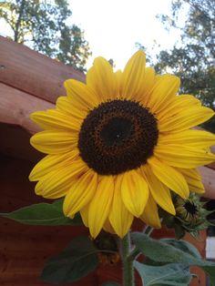 My beloved Sun Flowers