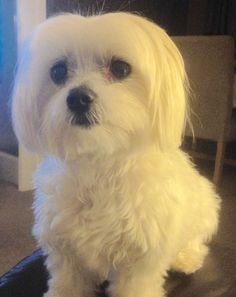 My beautiful Maltese