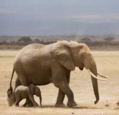 Nothing cuter than a baby elephant following its mama!