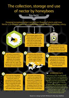 honeybee behaviour. How honeybees use nectar, pollen, propolis and water - nectar collection infographic