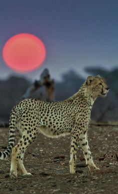 Cheetah under a Setting Sun