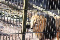 Lion photo by: Nea-Mari Vallin