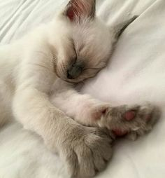 56 Ideas cats and kittens art life for 2019 Siamese Kittens, Kittens Cutest, Cats And Kittens, Funny Kittens, Bengal Cats, White Kittens, Pretty Cats, Beautiful Cats, Cute Funny Animals