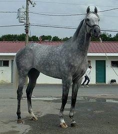 I love dappled gray horses