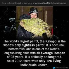 """"""" the world's largest parrot, the Kakapo, is the world's only flightless parrot. It is nocturnal, herbivorous, and is one of the world's longest-living birds with an average lifespan of 95 years. Flightless Parrot, Kakapo Parrot, Parrot Facts, Bird Facts, Beautiful Birds, Animals Beautiful, Creature Picture, Budgies, Parrots"""