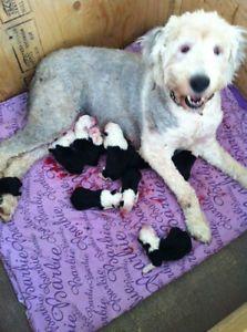 Young Female - Old English Sheepdog-Bernese Mountain Dog   dogs ...