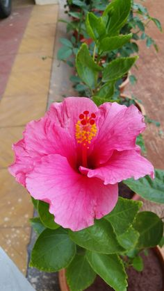 Home Garden. Pride Of Barbados, Hibiscus Plant, Live Plants, Tropical Flowers, Pune, Planting Flowers, Beautiful Flowers, Exotic, Home And Garden