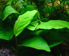 Anubias is one of the only plants that actually prefers low lighting,