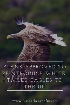 Plans Approved to Reintroduce White-Tailed Eagles to the UK