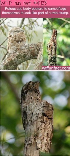 "POTOO'S - King of ""Hide & Seek!"" ~WTF! fun facts"