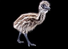 Emu chick, lookin' sassy.