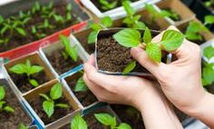 Plant companion plants next to your tomato plants that will naturally deter bugs from residing on or near your beloved fruit. Plant asparagus, basil, beans, bee balm, borage, chives, garlic, mint, marigolds, anise, nasturtium, onion, parsley, peppers or petunias near your tomatoes to ward off unwanted visitors.
