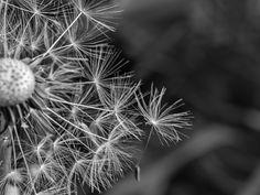 Dandelion #macro #nature #flowers #summer #blooming #dandelion
