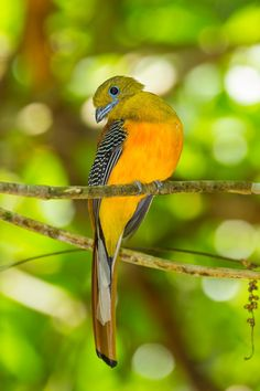Orange-breasted Trogon (Harpactes oreskios)