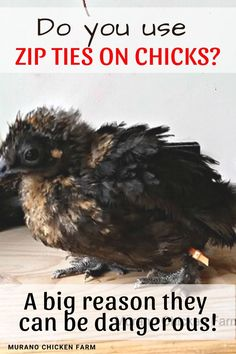 Many chicken keepers use zip ties to identify baby chicks when they first get them. Unfortunately, leaving zip ties on chicks for too long can cause leg injuries. Here's how to help a leg injury heal. Baby Chickens, Raising Chickens, Chickens Backyard, Leg Injury, Guinea Fowl, Coops, Healthy Chicken, Ties, Animals