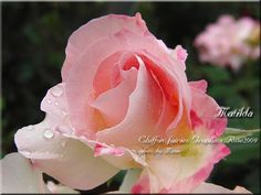 """""""The delicate blush of a rose speaks all that is tender and true."""" Jerilyn Morgan"""