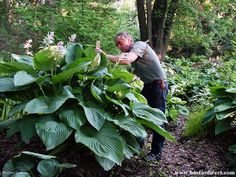 """Empress Wu"" - One of the largest hostas available. With leaves at least 12 inches around, this hosta grows 4.5 feet high and 6 feet wide!"