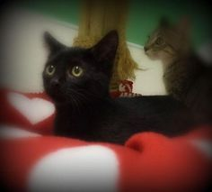 Mario is an adoptable Domestic Short Hair-black Cat in Pekin, IL Hello there, I'm Mario and I am 3 months old.  I am a cute little boy, here with my two brother ... ...Read more about me on @petfinder.com