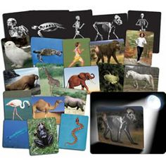 What's inside animals cards.  Examine the photos and then place them on a light table or in a window to reveal the skeletal system of the animals