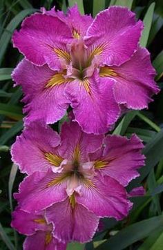 Rainbow Daylilies