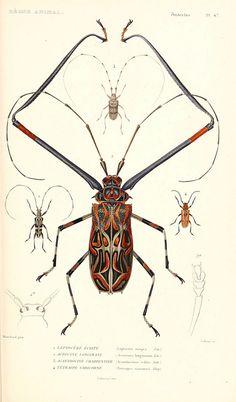 Le règne animal distribué d'après son organisation. v.6-7. pt.2. Atlas Paris :Fortin, Masson et cie,[1836-49]