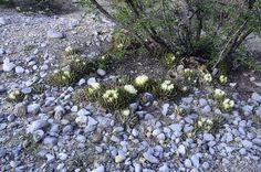 Ariocarpus trigonus colony Jaumave