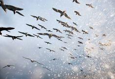 Corey Arnold  Salt Birds, 2010   38 x 56 Inches  , Chromira C-Print
