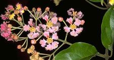 National Flower of St. Vincent and the Grenadines is the Soufriere Tree.