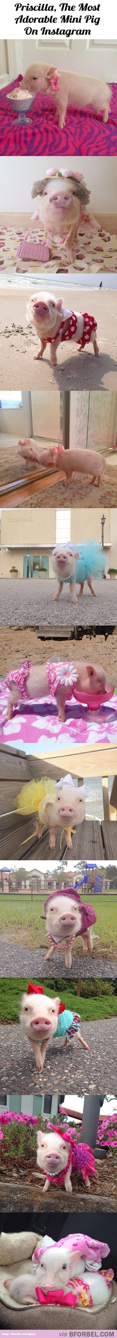 Meet Priscilla, The Most Adorable Mini Pig On Instagram…