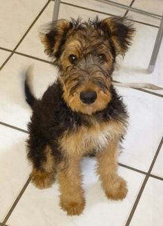 You will be hard pressed not to love Airedale  pup!!