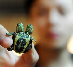 Siamese turtle twins