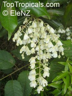 Lily-of-the-Valley Tree (Clethra arborea) Fast growing tree with waxy blooms that look like Lily of the Valley.  12-25ft tall, evergreen, shiny leaves, very fragrant flowers.  Zones 9-10, full sun to light shade, moist well drained acidic soil, Blooms summer through fall.