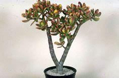 Crassula ovata 'Hummel's Sunset' (v) AGM. Looks rather like a bonsai tree.