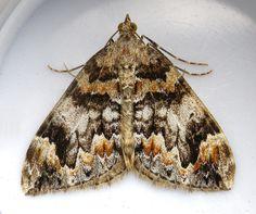 Dark Marbled Carpet (Chloroclysta citrata citrata).