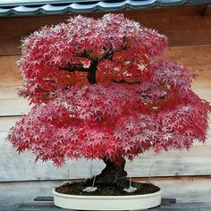Junichiro Tanaka's Aichi-en Bonsai Nursery Japanese Maple (Acer Palmatum / Momiji)⠀ (Ph. Credit: Jonas Dupuich)
