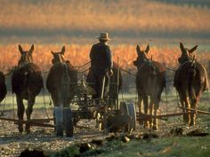 An Amish farmer tills a field on mule-drawn plow in Lancaster County, Pa | CBS News