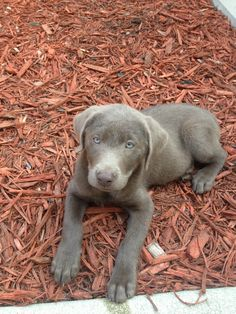 Our silver lab puppy Cute Dogs And Puppies, I Love Dogs, Puppy Love, Doggies, Mutt Dog, Dog Cat, Silver Labrador Puppies, Happy Animals, Cute Animals