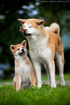 best image ideas about japanese akita inu - dogs that look like wolves Animals And Pets, Baby Animals, Funny Animals, Cute Animals, Cute Puppies, Cute Dogs, Dogs And Puppies, Funny Dogs, Beautiful Dogs