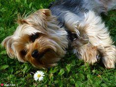 Yorkshire Terrier Gustav  Hmmmm, erstmal schnuppern und den Frühling genießen!  Rasse: Yorkshire Terrier / Name: Gustav     Mehr lesen: http://d2l.in/30  dogs2love - Gassi gehen zum Verlieben. Partnerbörse für alle, die Hunde lieben.  Bild, Dating, Foto, Hund, Single