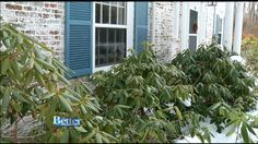 Better Gardens: Trimming Your Rhododendrons