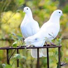 No photo description available. Pretty Birds, Beautiful Birds, Animals Beautiful, Dove Pigeon, Pigeon Bird, Dove Pictures, Bird Pictures, Dove Images, Animals And Pets