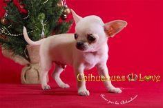 foto navidad chihuahuas