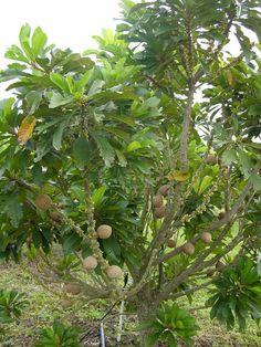 tropical fruit trees miami - Google zoeken