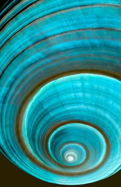 Giant helmut tun shell closeup by Henry Domke